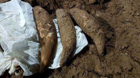 El prehistórico león de las cavernas descubierto en Asturias por casualidad
