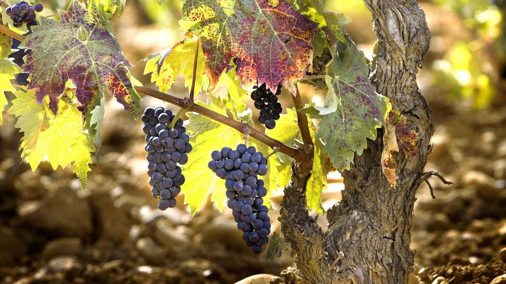 Foto: Uvas tintas pendiendo de las ramas de una vid (Foto: iStock)
