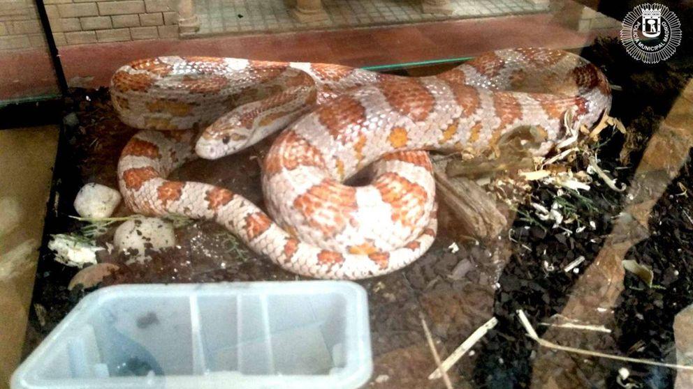 Hallan una serpiente de maíz abandonada en un cuarto de basuras de Tetuán (Madrid)
