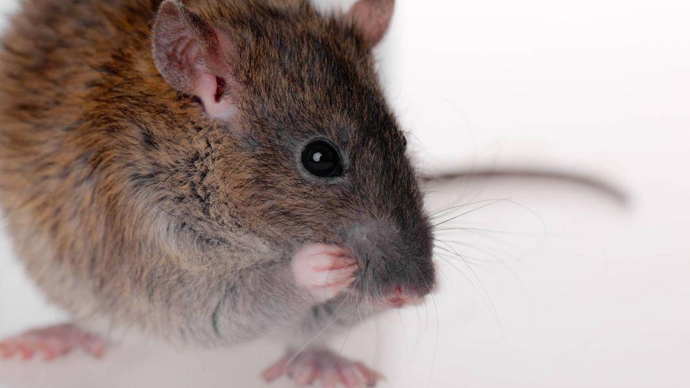 No eres el único: a los ratones también se les contagian las ganas de rascarse
