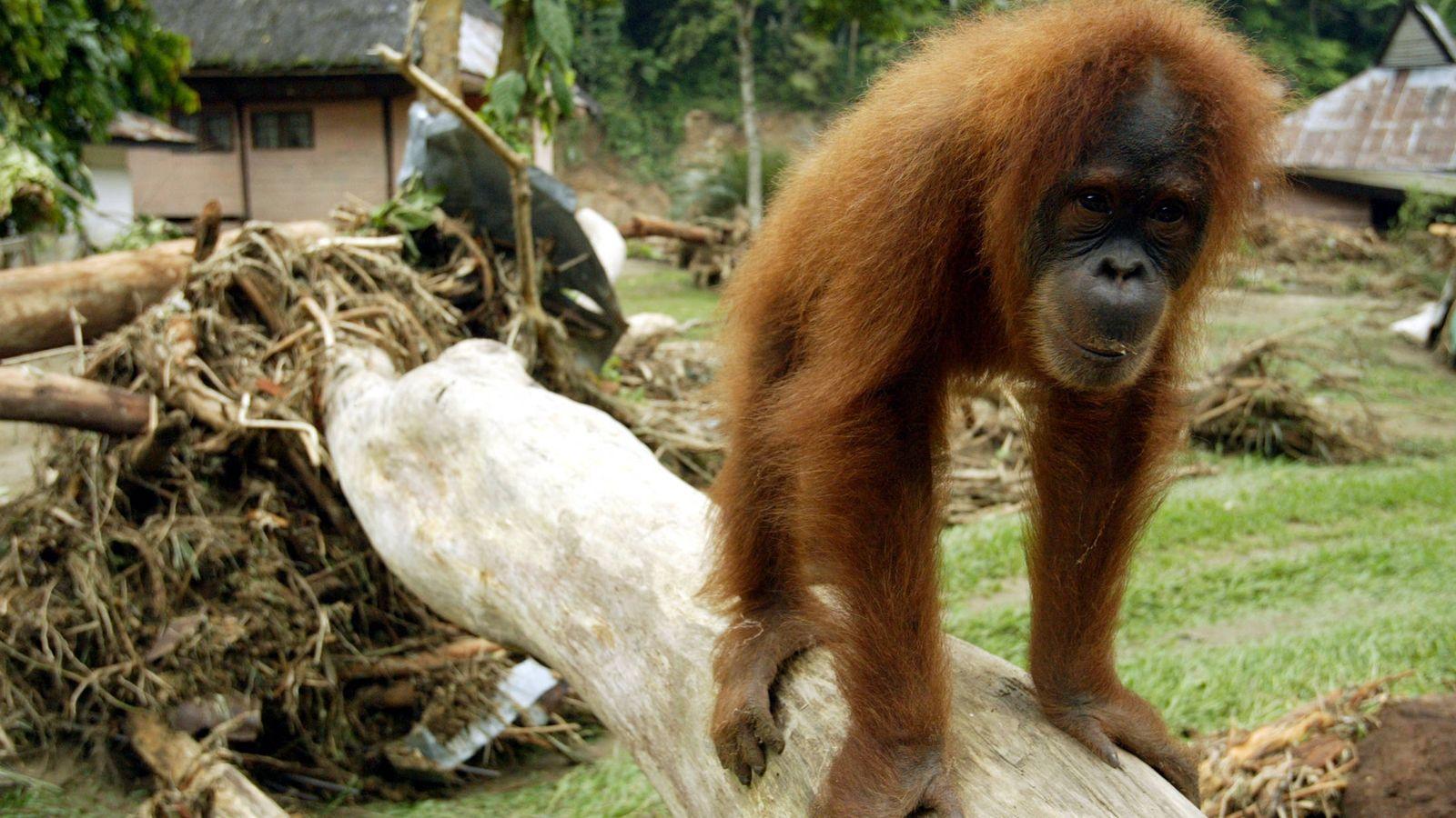 Foto: Un orangután camina sobre un árbol en Bukit Lawang, Bahorok. (Reuters)