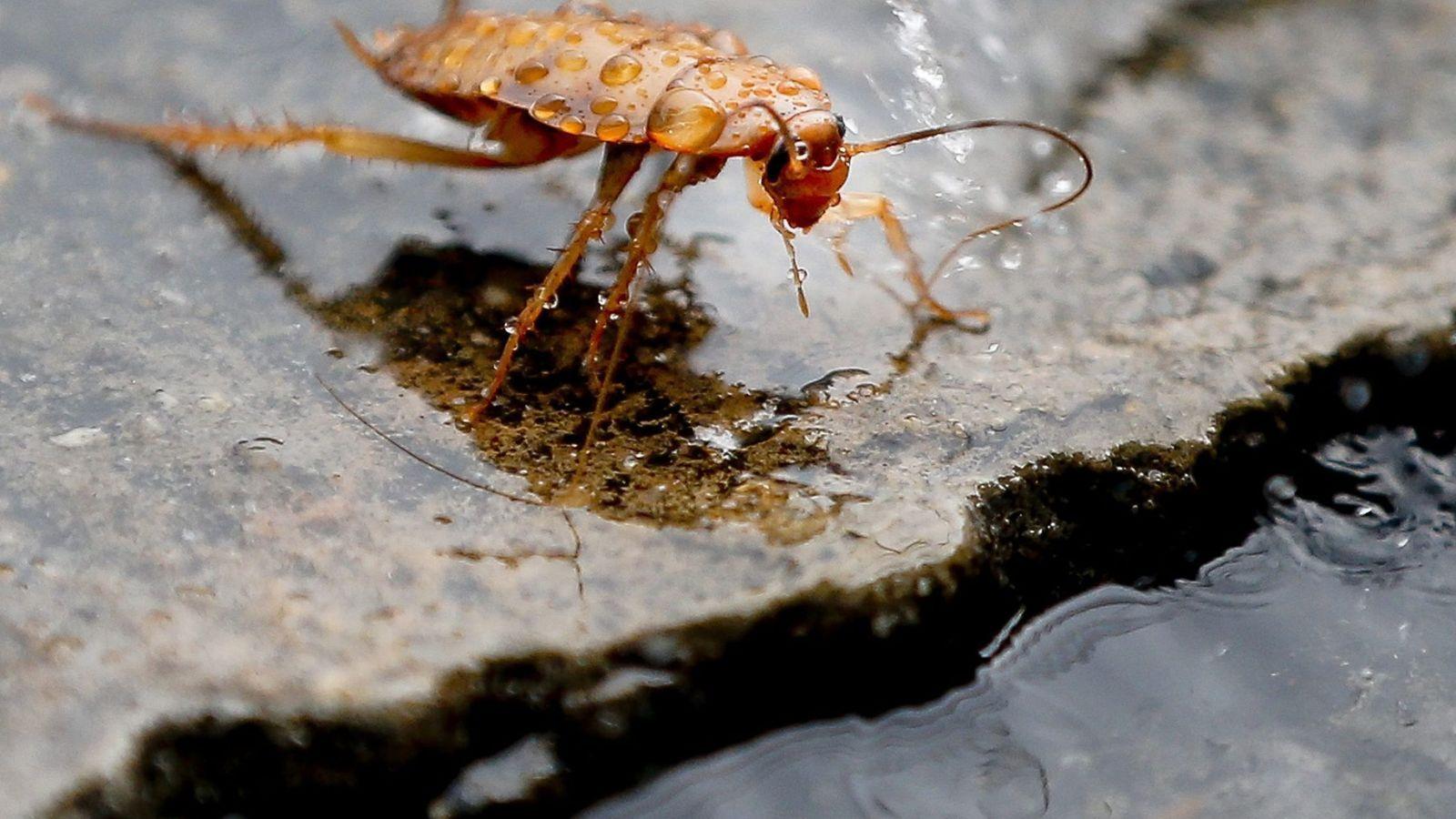 Foto: Cada cucaracha hembra puede tener entre 200 y 300 crías en su vida (EFE/Diego Azubel)
