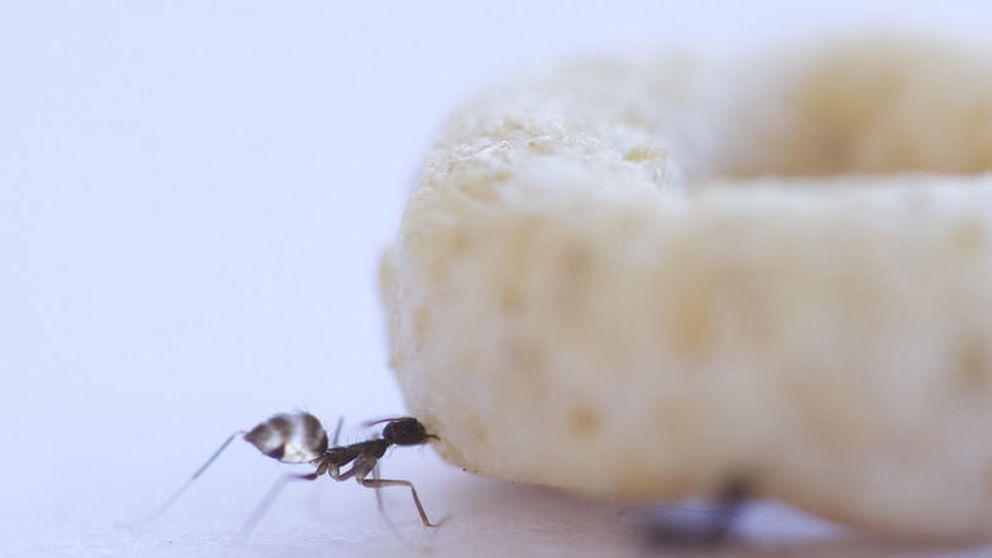 Las hormigas se coordinan para transportar comida pesada