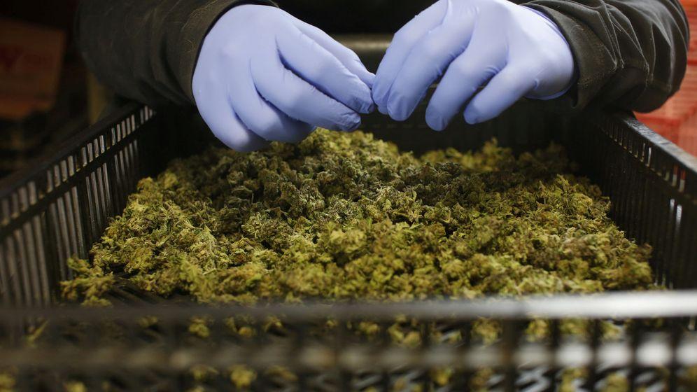 Foto: Un empleado organiza cogollos recién recolectados en una plantación israelí de marihuana medicinal (Reuters)