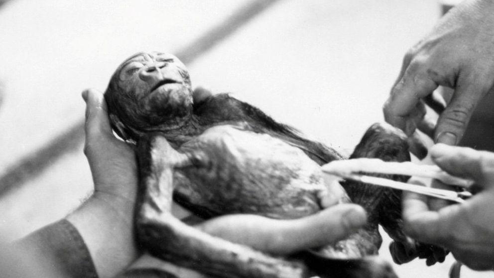 Os presentamos a Colo, la gorila que más tiempo ha vivido en cautividad