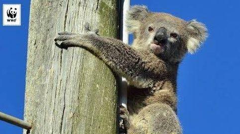 Este koala sobrevive dos días a pleno sol agarrado a un poste de luz