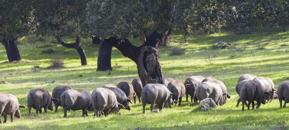 Foto: Los cerdos ibéricos son los más amenazados. (Foto: iStock)