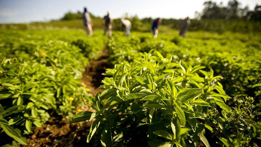 Foto: Cultivos de Stevia rebaudiana