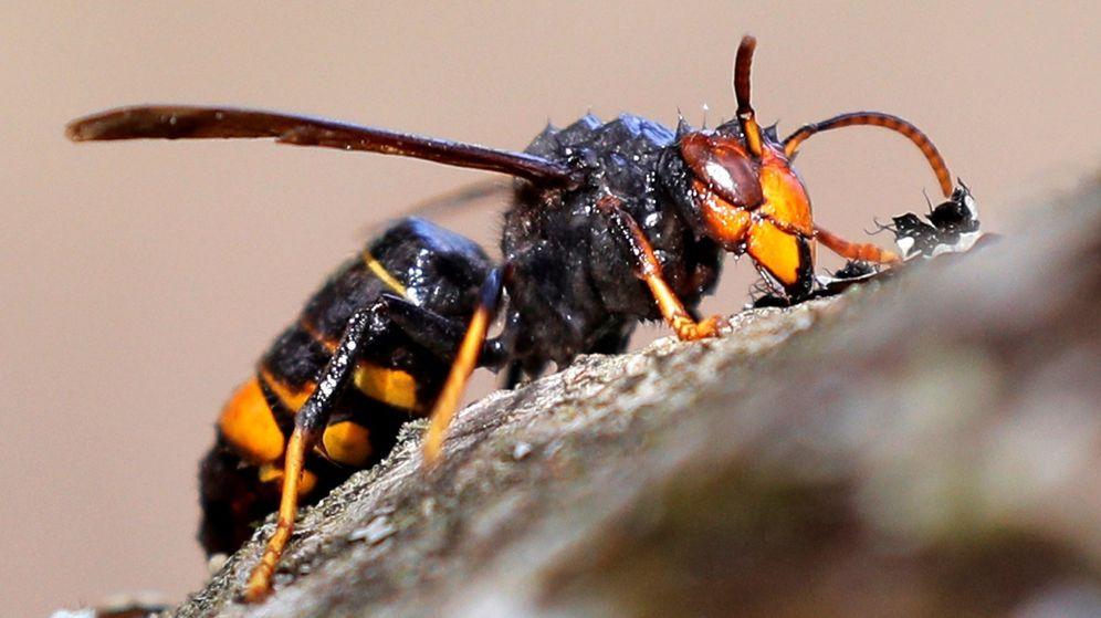 Foto: Avispa asiatica. (EFE)