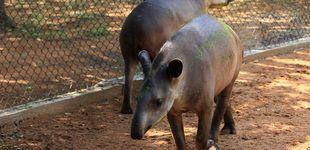 Post de El hambre en Venezuela: roban dos tapires y un búfalo de un zoo para comérselos
