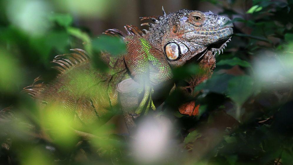 Foto: Las iguanas se ven muy afectadas por las bajas temperaturas, llegando a quedar inmóviles (EFE EPA/Felipe Trueba)