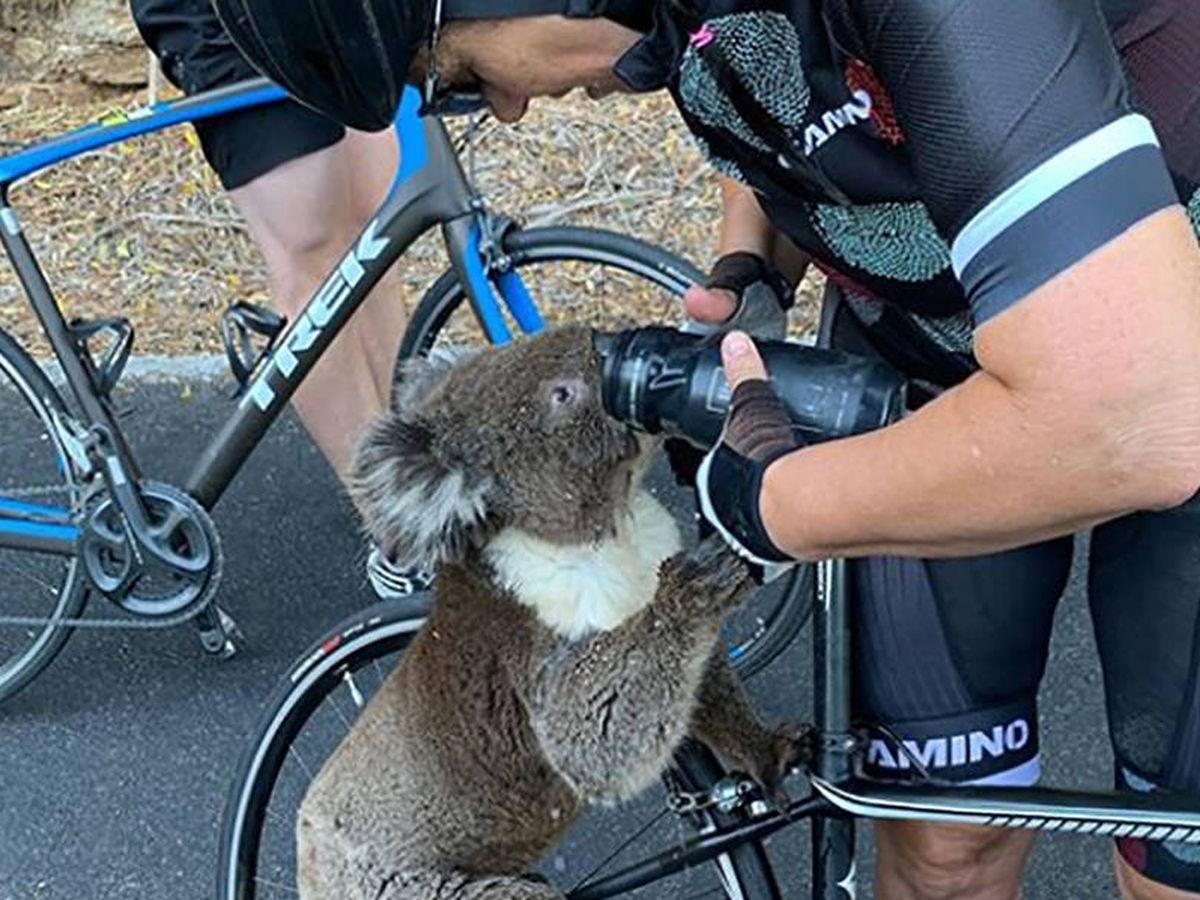 Foto: El koala, bebiendo de las botellas de los ciclistas. Foto: Instagram