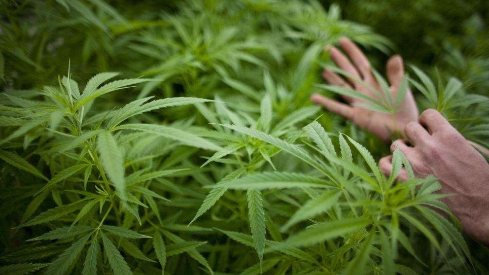 Los cultivadores de marihuana ven el cielo abierto con la Ley Mordaza