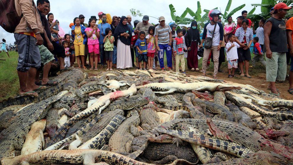 Matan a cientos de cocodrilos por 'venganza' por la muerte de un granjero en Indonesia