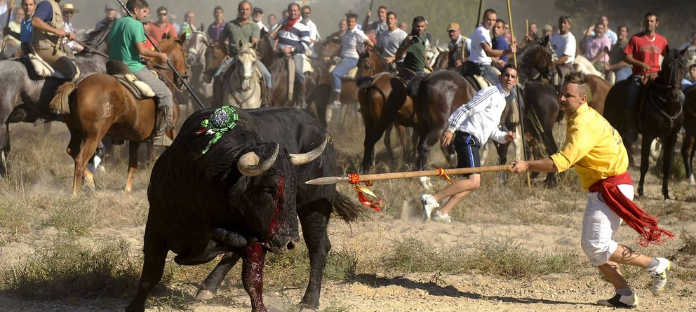 Foto: Fotografía facilitada por el Partido Animalista del Toro de la Vega de 2011. (Efe)