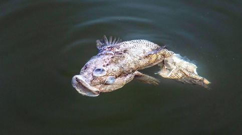 Catástrofe ecológica deja moribundo el mar Menor