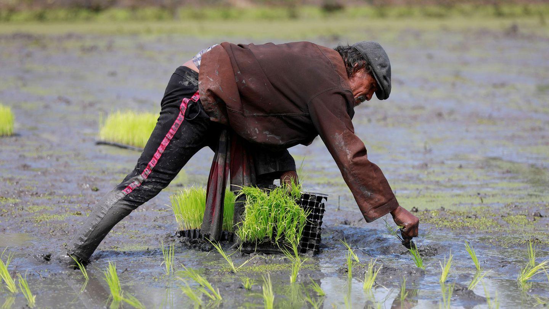 La inundación de los campos de arroz es  otra de las mayores fuentes de metano que existen. Foto: Reuters