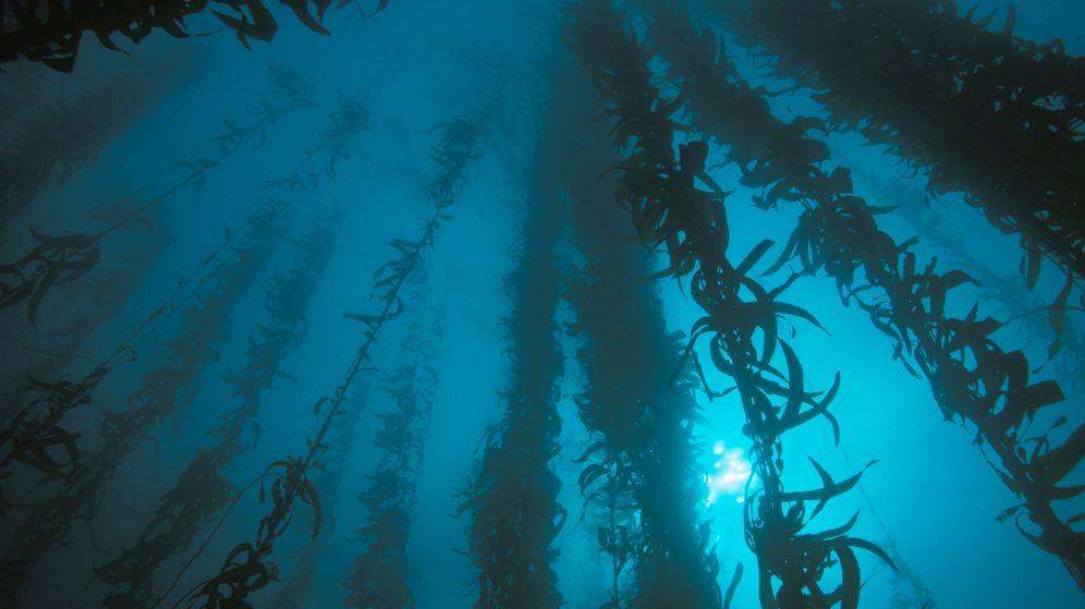 Foto: Alga kelp. (Alamy)