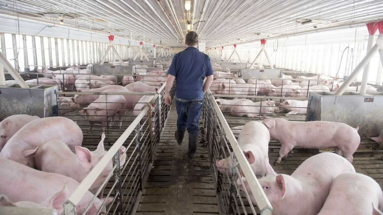 El pueblo que teme gastar seis veces más agua en cerdos que en sus vecinos