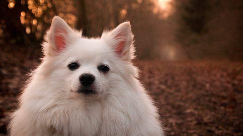 El curioso aullido de un perro que es una mezcla entre el de un lobo y un mono