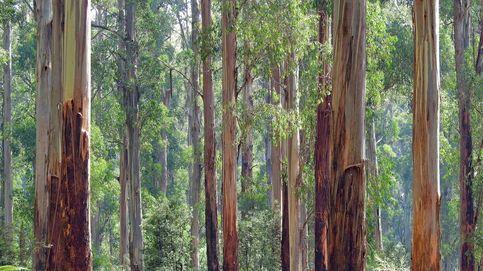 Pros y contras del eucalipto en Galicia, el árbol que aporta el 4% a su PIB