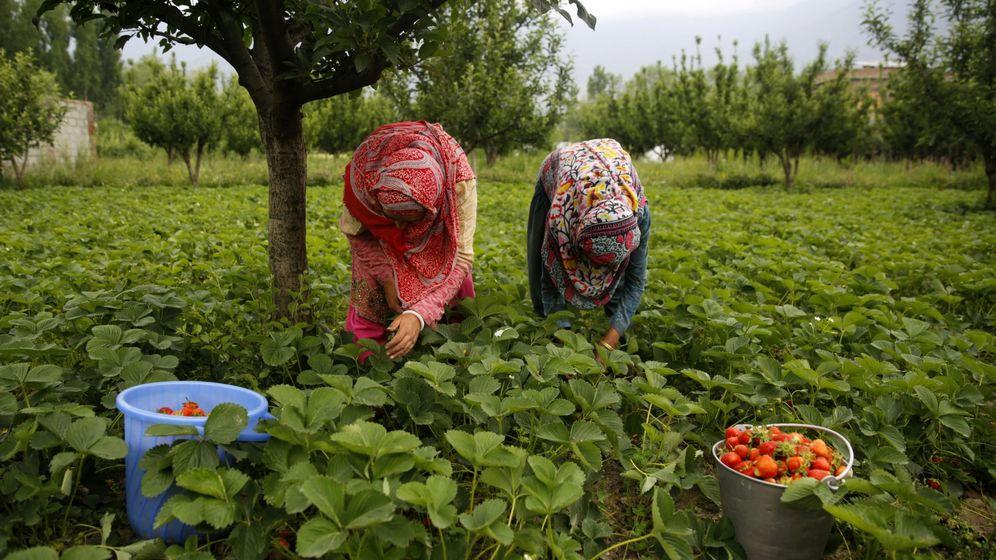 Foto: Dos mujeres recogen fresas durante la campaña de recogida de esta fruta. (EFE)
