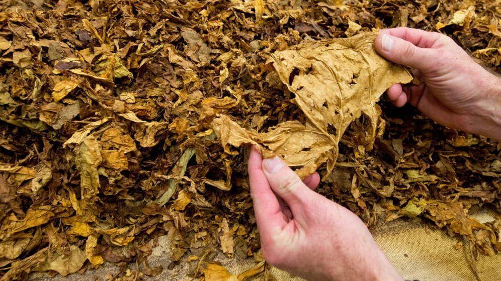 Foto: Hoja de tabaco.