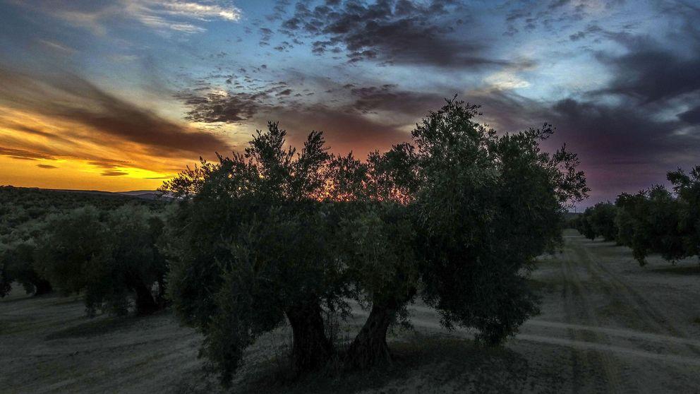 El dueño de Persán se suma a la fiebre del olivar en Portugal: 1.000 hectáreas