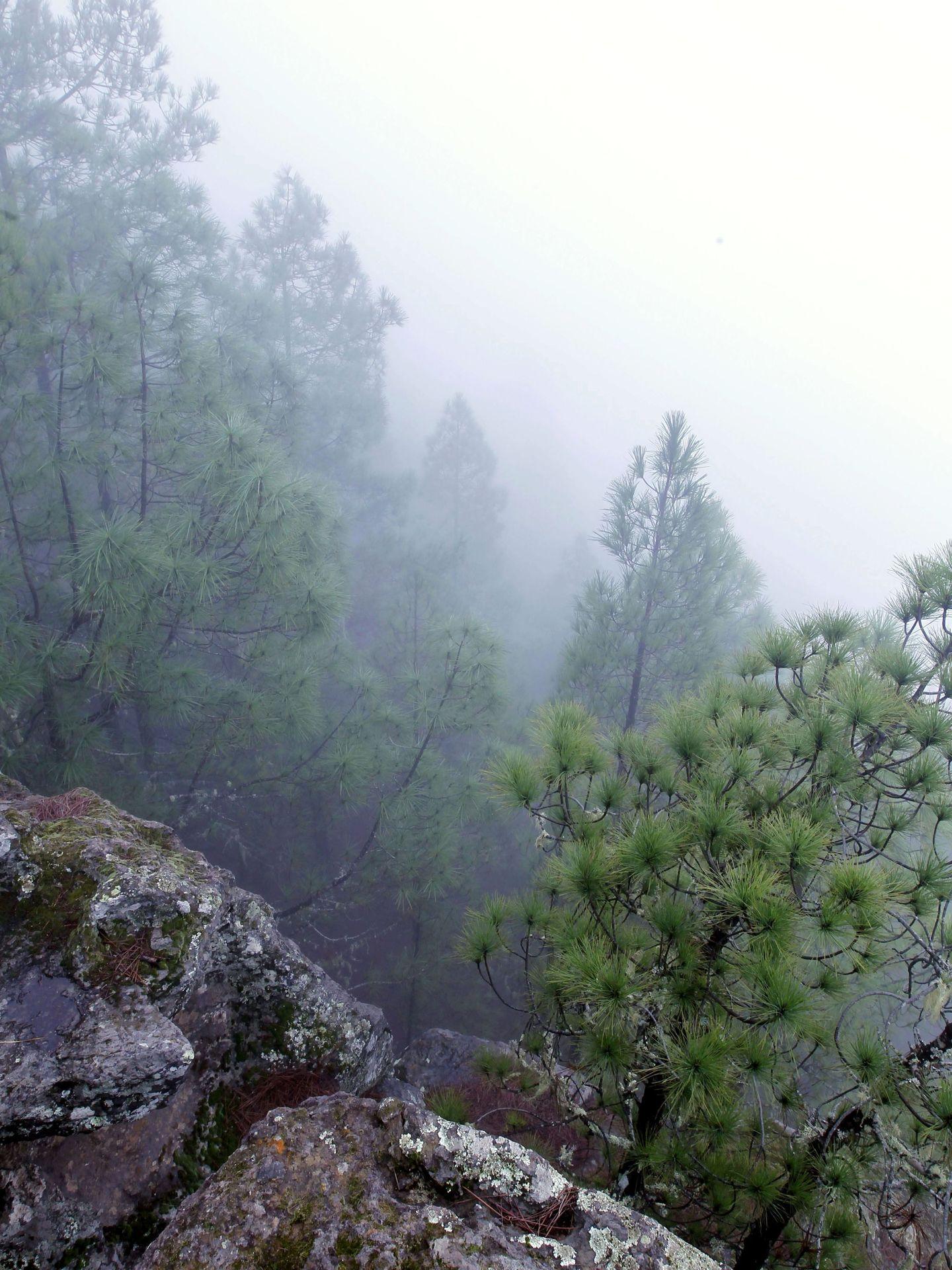 Una espesa niebla cubre el pinar de Tamadaba. (EFE)