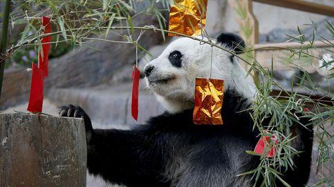 El oso panda embajador de China en Tailandia muere a los 19 años