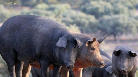 El Gobierno permite registrar como ibéricos cerdos sin padres conocidos
