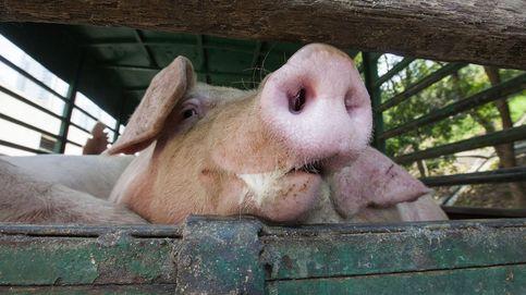 Orina de cerdo y amoniaco en el aire: España tiene un problema ambiental por resolver