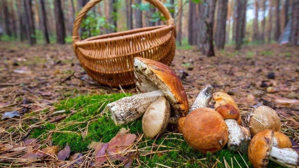 Foto: Recogida de setas con cesto en el campo