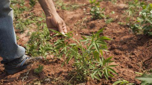 La Iglesia mexicana, a favor del uso de la marihuana con fines medicinales