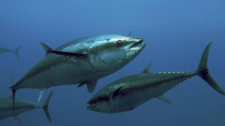 Foto: Ejemplares de atún rojo atlántico en una jaula de Malta.(OCEANA / Keith Ellenbogen)