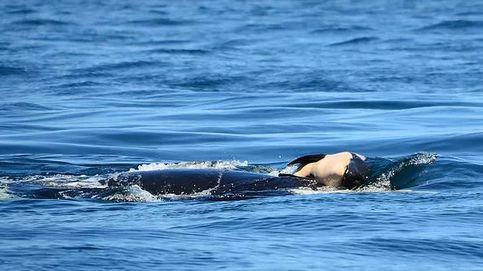 Una orca deja marchar a su cría después de cuidarla dos semanas estando muerta