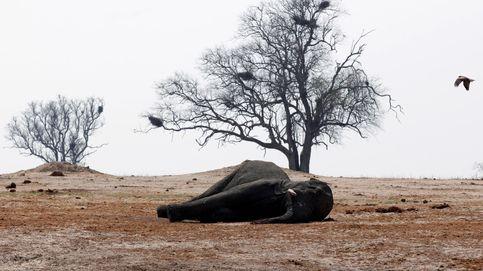 Mejor vender que sacrificarlos: por qué Zimbabue defiende la venta de elefantes