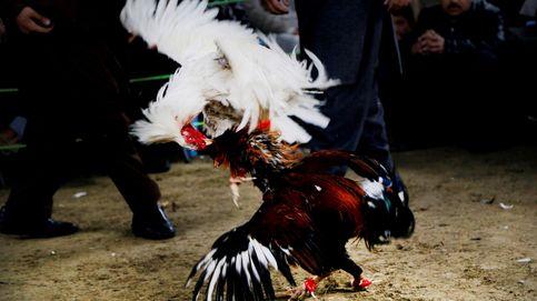 Pelea de gallos en Afganistán