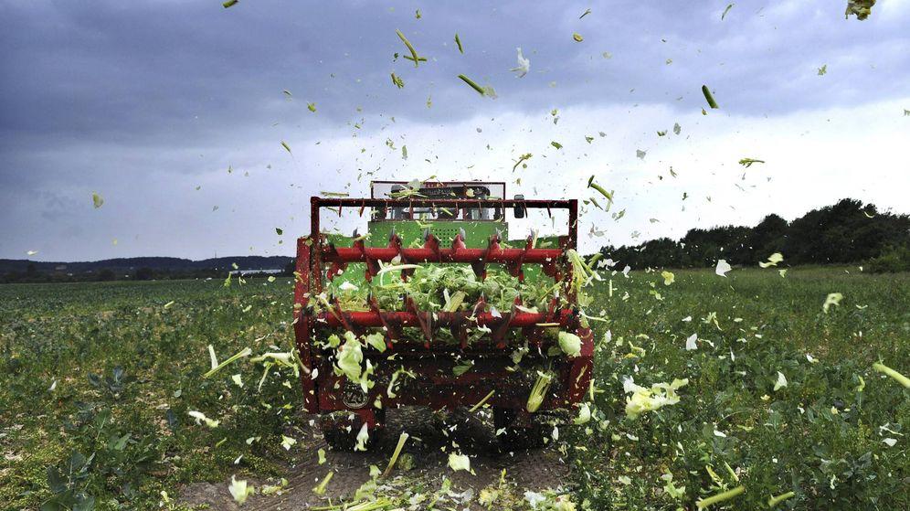 Foto: Un agricultor hace trizas su cultivo. (EFE)