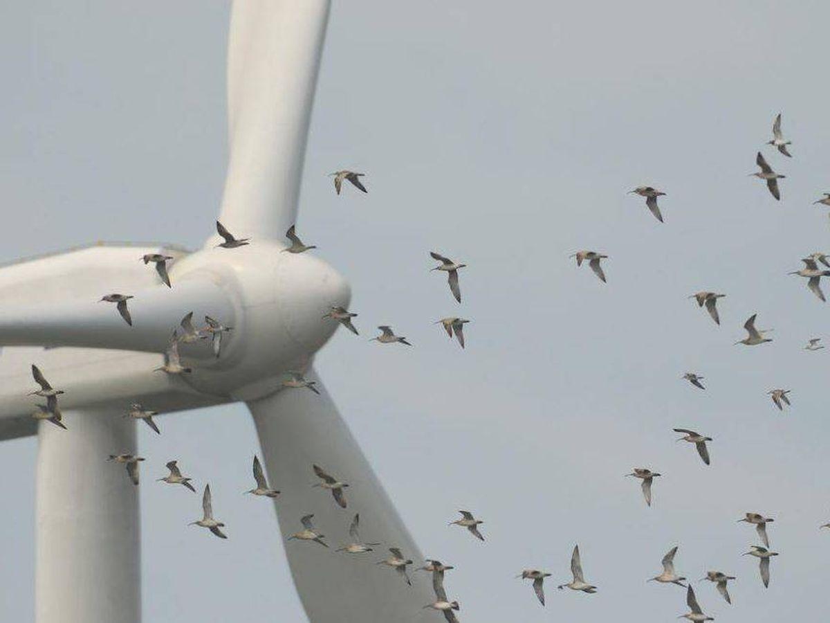 Foto: Las aves pueden verse afectadas por los parques eólicos. (SEO/Birdlife)
