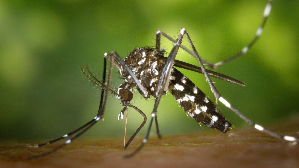 Foto: Un ejemplar de mosquito tigre pica a una persona. (Pixabay)