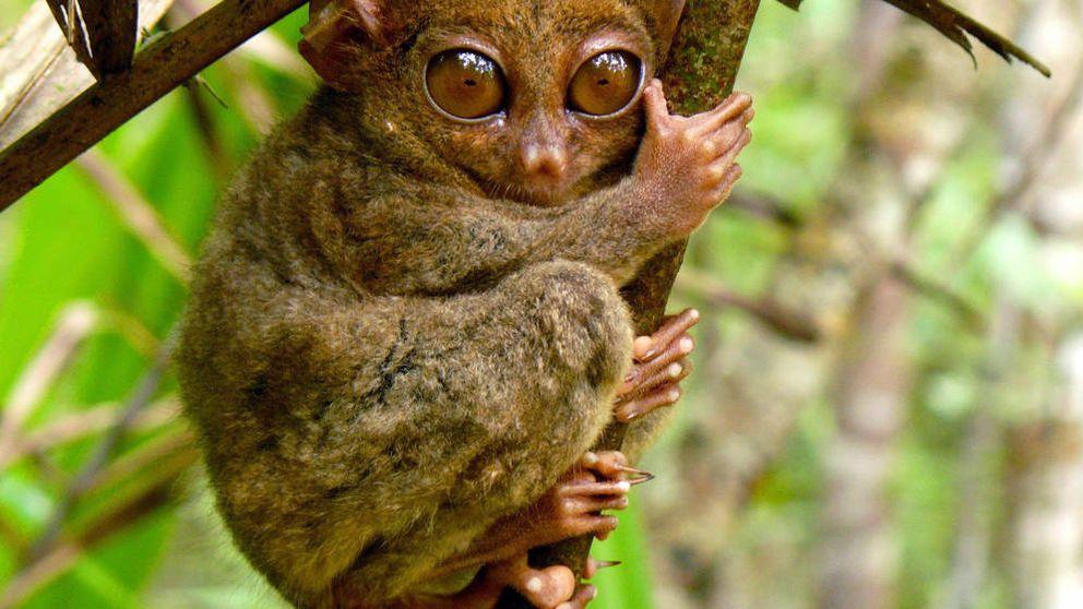 Descubren un primate que paseaba por Lleida hace 37 millones de años