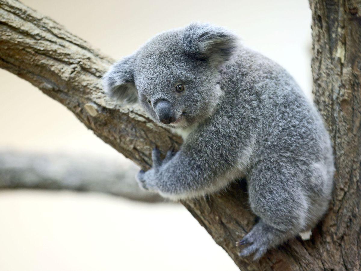 Foto: Un ejemplar de Koala en el Zoo de Viena. Foto: Reuters