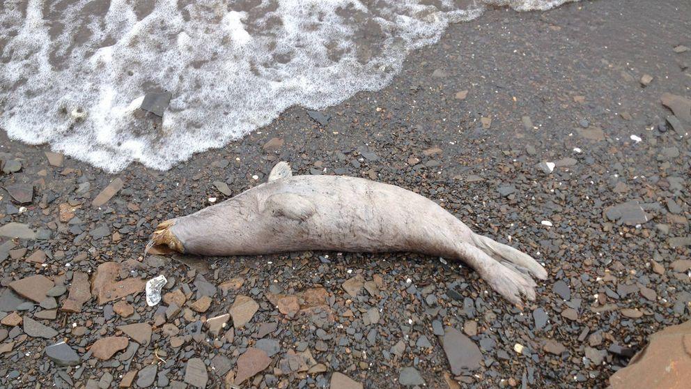 La misteriosa muerte en masa de focas en Alaska que desconcierta a los expertos