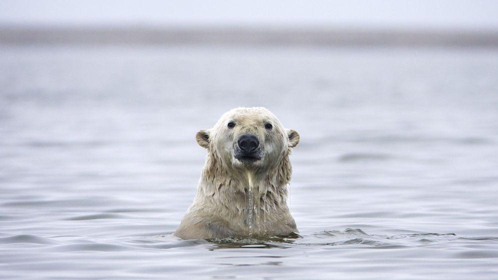 Foto: Un oso polar juega en el agua de Alaska después de haber migrado de su hábitat natural por el cambio climático. (EFE)