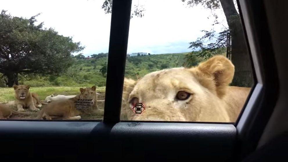 Un león aterroriza a varios turistas al abrir la puerta de su coche