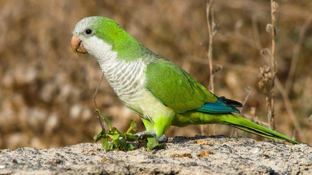 Foto: Son ruidosas y desplazan a la fauna local: ¿deberíamos empezar a sacrificar cotorras?