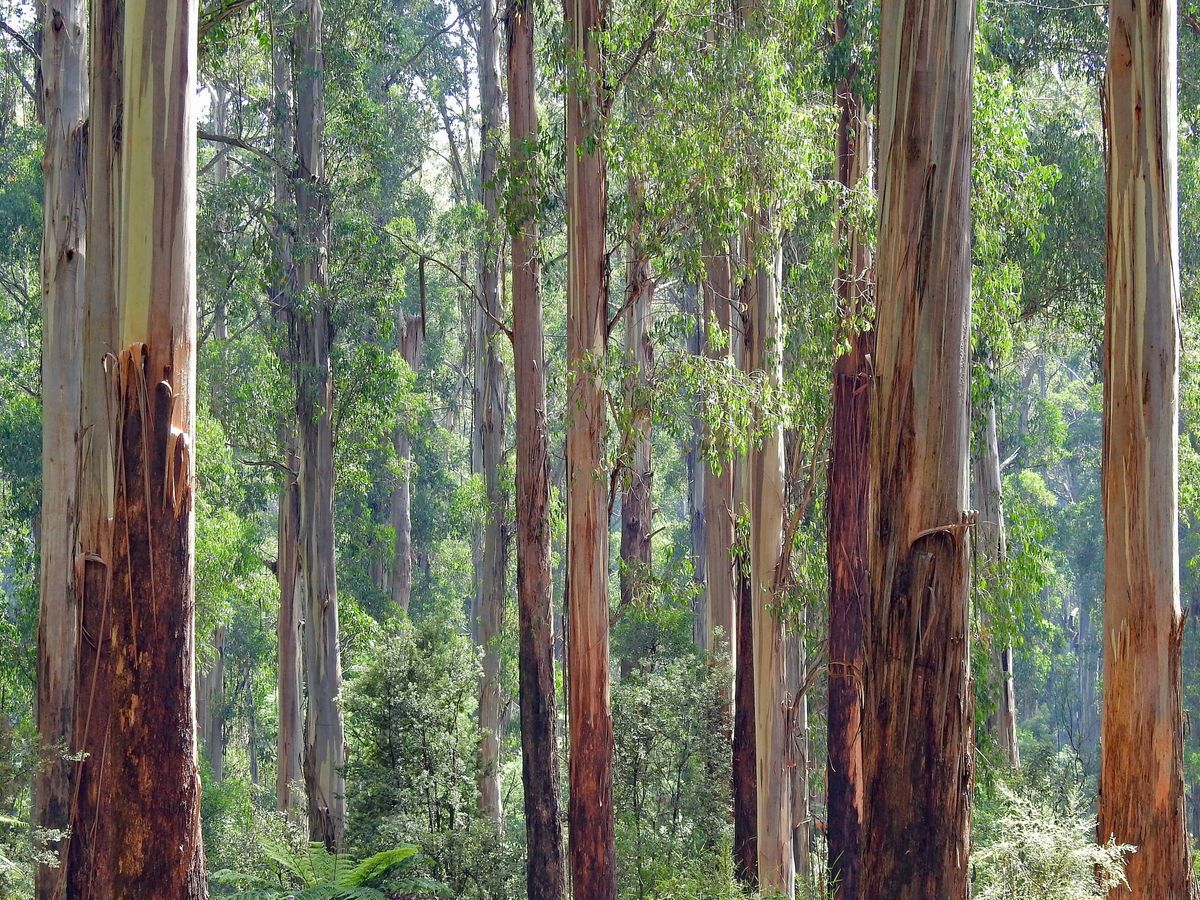 Foto: Un bosque de eucalipto. (Unsplash)
