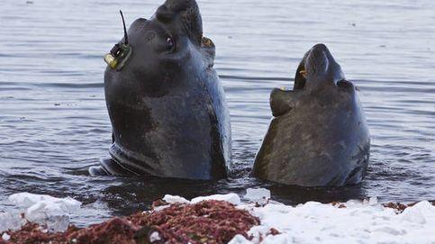 Elefantes marinos ayudan a recoger datos sobre el deshielo del Polo Sur