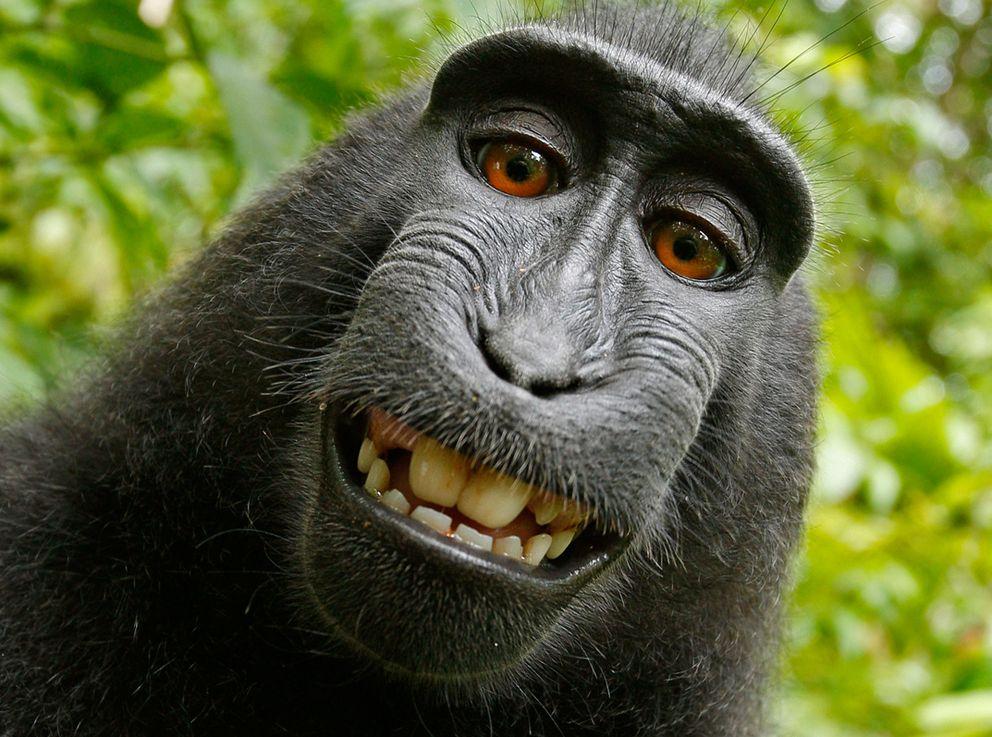 Foto: 'Selfie' de un macaco negro crestado (Fotografía vía Wikipedia).